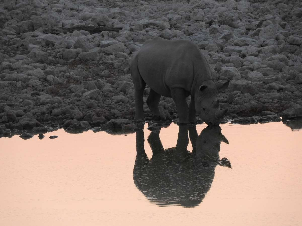 Rhinoceros at the Watering Hole